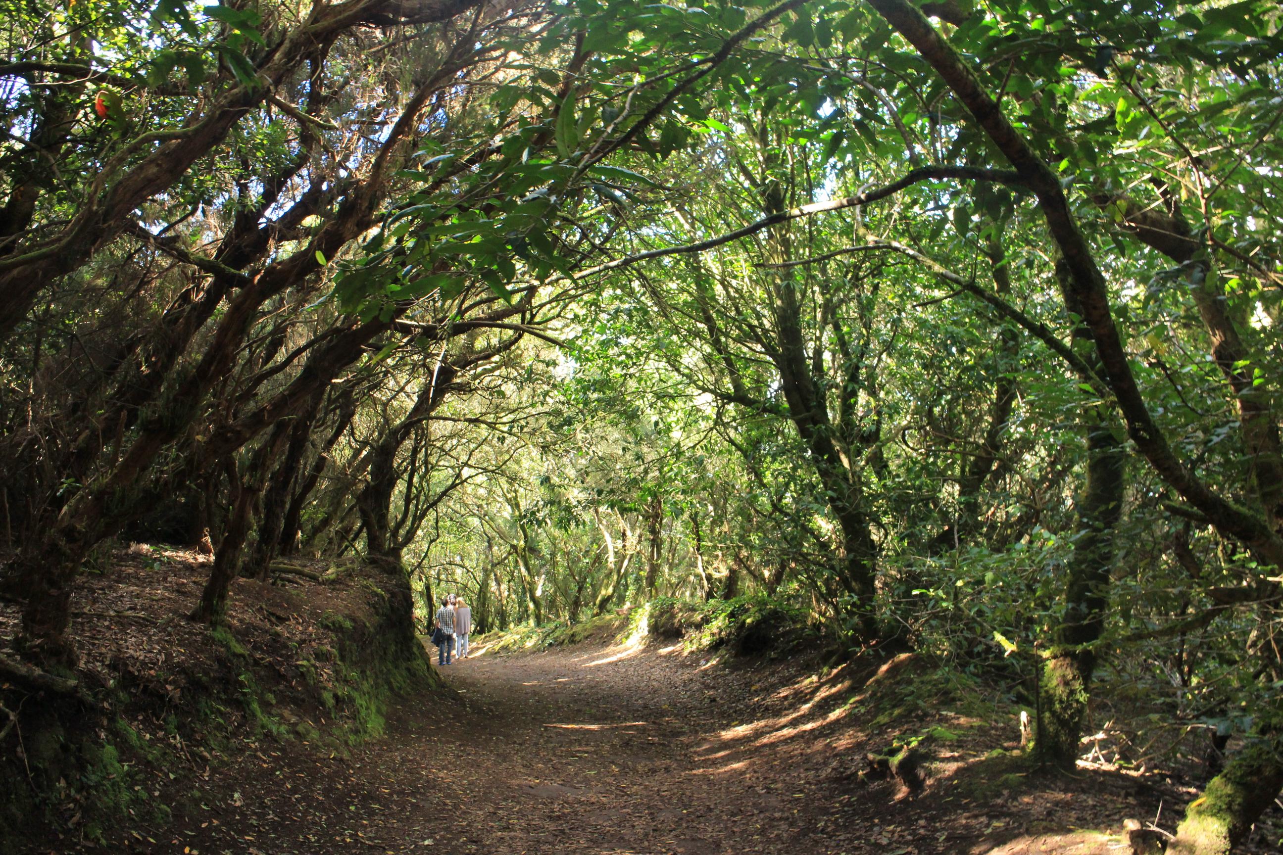 Anaga山區是常綠闊葉林帶